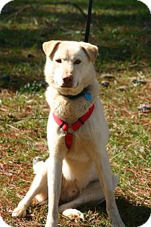 Labrador Retriever/Husky Mix Dog for Sale in Huntsville, Alabama - Colby Jack