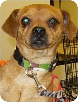 Pug/Beagle Mix Dog for adption in Lucerne Valley, California - HP Pug