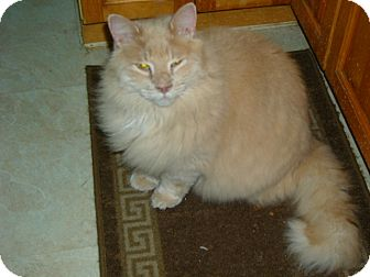Persian Cat for adoption in Emsdale (Huntsville), Ontario - Mango - Persian Cross!