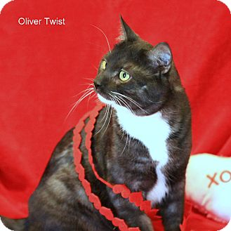 Domestic Shorthair Cat for Sale in Gaithersburg, Maryland - Oliver Twist