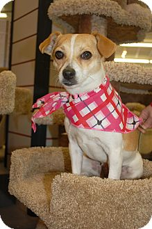 Chihuahua/Jack Russell Terrier Mix Dog for Sale in London, Kentucky - Sammie