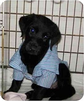 Labrador Retriever Mix Puppy for adption in Sparta, New Jersey - FOSTERS NEEDED