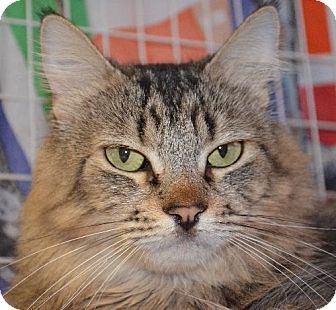 Domestic Mediumhair Cat for adoption in Peoria, Arizona - Trixie