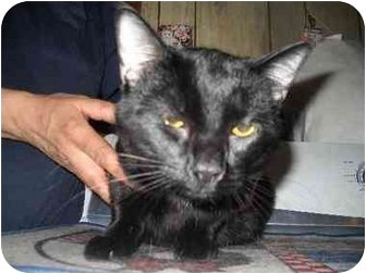 Domestic Shorthair Cat for adoption in Falls, Pennsylvania - Shadow