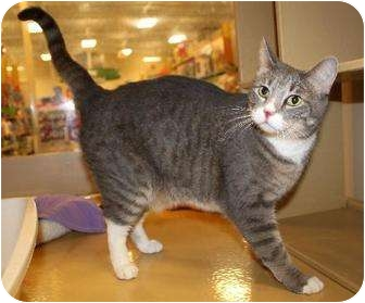 Domestic Shorthair Cat for adoption in Smyrna, Tennessee - Jill