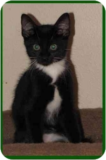 Domestic Shorthair Kitten for Sale in Orlando, Florida - Webster