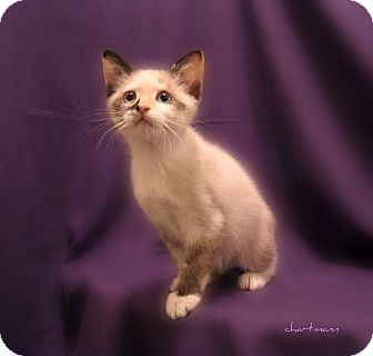 Domestic Shorthair Kitten for Sale in Richmond, Virginia - Sassafras & Sabrina