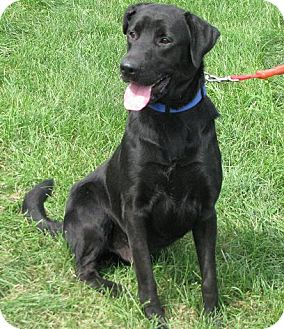 Labrador Retriever Mix Dog for Sale in Lisbon, Ohio - Farley