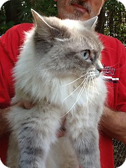 Ragdoll Cat for Sale in Stamford, Connecticut - Chloe
