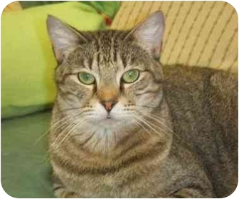 Domestic Shorthair Cat for adoption in Lake Charles, Louisiana - Sir Phillip