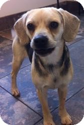 Pug/Beagle Mix Dog for Sale in Russellville, Kentucky - Sadie