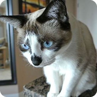 Snowshoe Cat for Sale in Mississauga, Ontario, Ontario - Odette