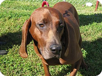 Redbone Coonhound Dog for Sale in Spring Valley, New York - Ruby