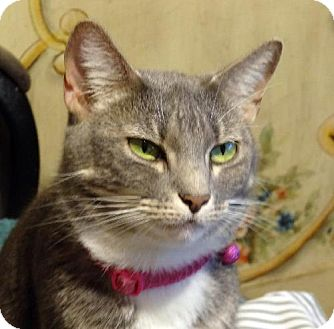 Domestic Shorthair Cat for adoption in Palm City, Florida - Addy