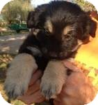 Shepherd (Unknown Type) Mix Puppy for Sale in Manchester, Connecticut - Kourtney ADOPTION PENDING