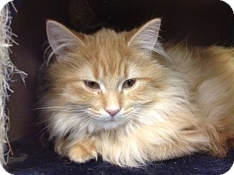 Domestic Longhair Cat for Sale in Grand Rapids, Michigan - Spice