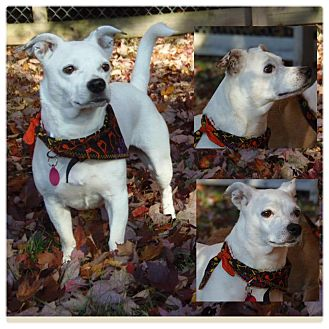 Jack Russell Terrier/Italian Greyhound Mix Dog for Sale in Westland, Michigan - Liberty