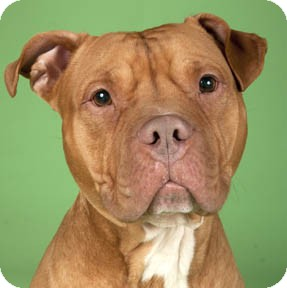 American Pit Bull Terrier/Dogue de Bordeaux Mix Dog for adption in Chicago, Illinois - Rudy