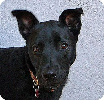 German Shepherd Dog/Rottweiler Mix Dog for adption in Los Angeles, California - Cricket