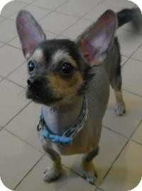 Chinese Crested/Chihuahua Mix Dog for Sale in Jackson, Michigan - Vader