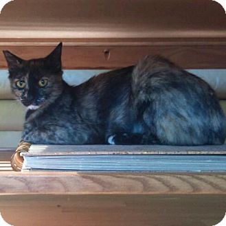 Domestic Shorthair Cat for adoption in Modesto, California - Helena