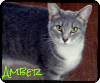 Domestic Shorthair Cat for adoption in manasquam, New Jersey - Amber