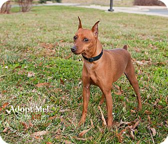 Miniature Pinscher Dog for Sale in Myersville, Maryland - Merv