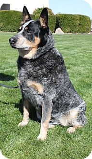 Australian Cattle Dog Dog for adption in Scottsdale, Arizona - Shade