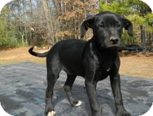 Labrador Retriever Mix Puppy for Sale in Washington, D.C. - Sister