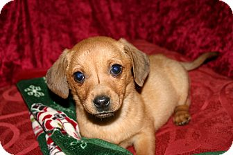 Dachshund Mix Puppy for Sale in Glastonbury, Connecticut - Ruby
