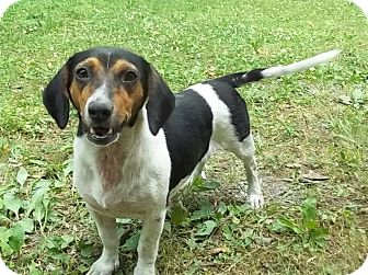 Beagle/Beagle Mix Dog for Sale in P, Maine - Beat-a-Bee