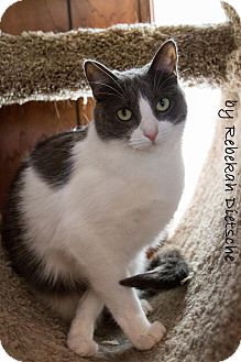 Domestic Shorthair Cat for adoption in Grand Rapids, Michigan - Jaycie