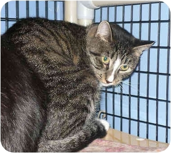 Domestic Shorthair Cat for adoption in Colmar, Pennsylvania - Barn Cats