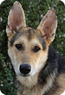 German Shepherd Dog Mix Puppy for Sale in Los Angeles, California - Wade von Wemding