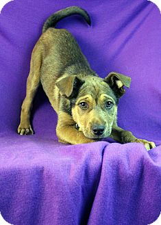 Shepherd (Unknown Type) Mix Puppy for Sale in Westminster, Colorado - Persia