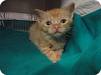Domestic Shorthair Kitten for adoption in New York, New York - Juliet