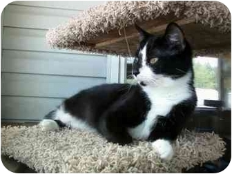 Domestic Shorthair Cat for Sale in Delmont, Pennsylvania - Polly