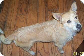 Terrier (Unknown Type, Small) Mix Dog for Sale in San Diego, California - Prince Harry URGENT