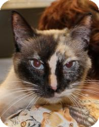 Domestic Shorthair Cat for Sale in Sacramento, California - Shay