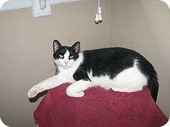 Domestic Shorthair Cat for adoption in Pittstown, New Jersey - Karni