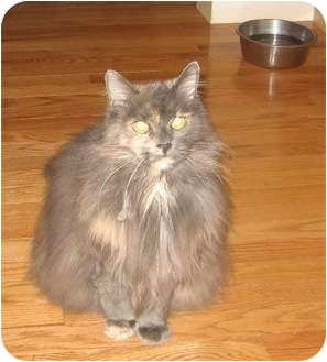 Domestic Longhair Cat for adoption in Quincy, Massachusetts - Chloe