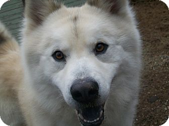 Looking for a Husky/Chow Chow dog in Fennville for Sale? Why not Adopt
