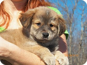 Labrador Retriever/Husky Mix Puppy for Sale in Sussex, New Jersey - Charise
