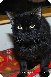 Domestic Mediumhair Cat for adoption in Lincoln, Nebraska - Hobo