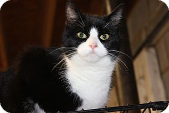 Domestic Shorthair Cat for adoption in Maxwelton, West Virginia - Mickey