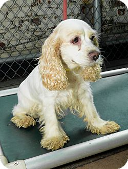 Cocker Spaniel Dog for Sale in New York, New York - LuLu