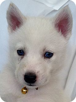 Siberian Husky Puppy for Sale in Thousand Oaks, California - Diamond