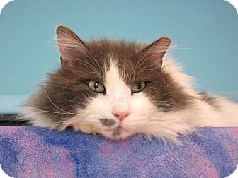 Domestic Longhair Cat for adoption in Edmond, Oklahoma - Yardlee