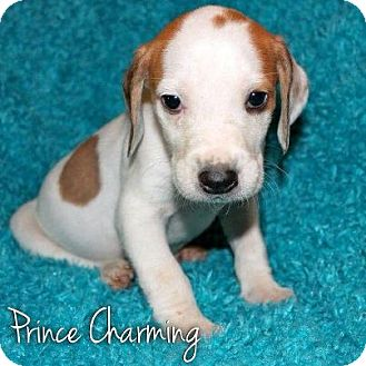 Hound (Unknown Type) Mix Puppy for Sale in Westland, Michigan - Prince Charming