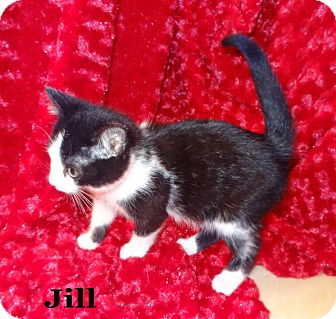 Domestic Shorthair Kitten for Sale in Bentonville, Arkansas - Jill